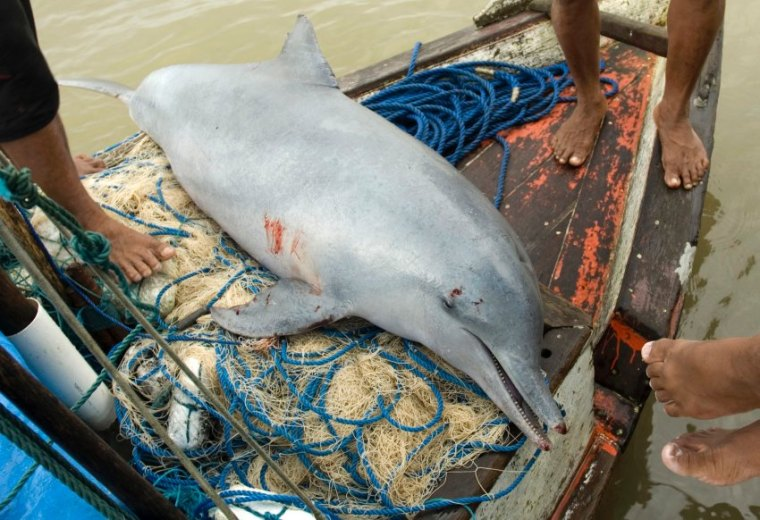 A dead tucuxi dolphin lies on a boat after it was pulled from a fishing net at the mouth of the Amazon River in Curuca